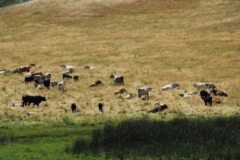 Cattle Ranch Cattle Egret Animal Themes Animals In The Wild Cattle Cattle Breeding Cattlefarm Day Field Grass Landscape Large Group Of Animals Mammal Nature No People Outdoors Rural Rural America Usa #igersusa #ig_unitedstates #rockin_shotz #just_unitedstates #insta_crew #gf_usa #nature #rsa_rural #instagramhub #allshots_#world_shooters #insta_america #ig_captures #centralfeed #webstagram #ic_landscapes #wonderful_america #storyofamerica #instagra USA