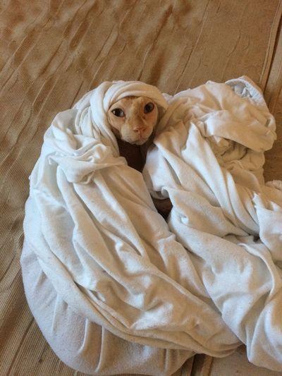 Og-Ogc-OriginalGanstaCat SkinCats Sphynx Sphynx Cat Alahakbar One Animal Indoors  Animal Themes Dog No People Canine Animal Pets Domestic Animals Domestic Textile Bed Relaxation