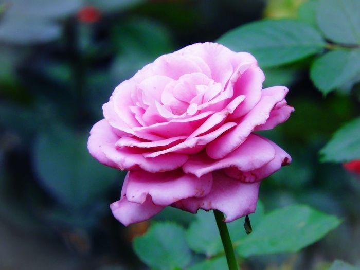 Flower Head Flower Peony  Pink Color Petal Close-up Plant Wild Rose Rose - Flower