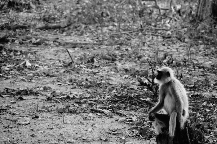 Animals In The Wild Animal Wildlife Langur Black & White No People Old Pic  One Animal NagarholeNationalPark Kabini