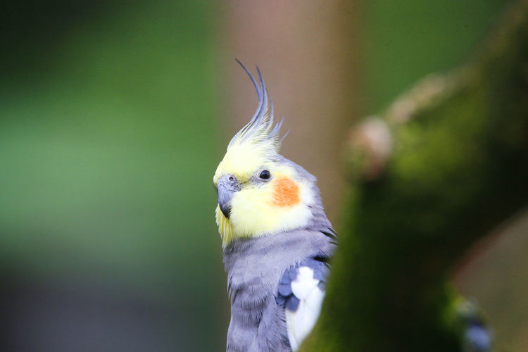 Nymphensittich, Cockatiel, quarrion, weiro Animal Themes Animal Wildlife Animals In The Wild Beak Beauty In Nature Bird Close-up Cockatiel Day Eye4photography  Focus On Foreground From My Point Of View Mammal Nature No People Nymphensittich One Animal Outdoors Quarrion Weiro Weltblick