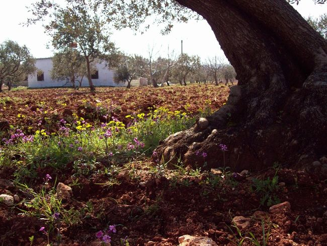 Syria Olive Trees Field Olive Tree Field Olive Tree House Rural Growth Flower Nature Plant Tree Outdoors Day