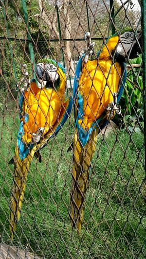 Animals Parrots Maccaw Egypt Giza_zoo Giza Zoo Yellow Animal Themes No People Day Bird Close-up Cage Nature Grass Outdoors
