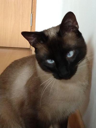 Siamese Cat Pets Portrait Sitting Feline Kitten Domestic Cat Alertness Making A Face Whisker