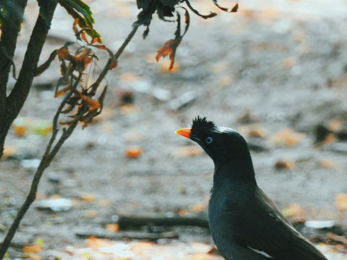 Animal Themes Animals In The Wild Beauty In Nature Bird Bird Photography Bird Watching Birds Birds Of EyeEm  Birds_collection Birds_n_branches Birdwatching Black Color Close-up High Angle View Myna Nature No People One Animal Selective Focus Two Animals Wildlife Zoology