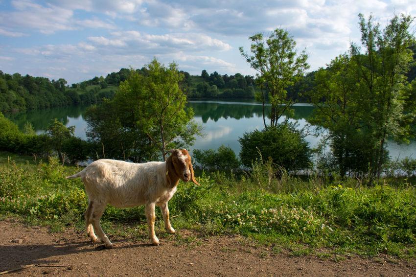Animal Themes Beauty In Nature Cloud - Sky Domestic Animals Eifel EyeEm Nature Lovers Goat Lake Mammal One Animal Outdoors Standing Totenmaar Water Weinfelder Maar