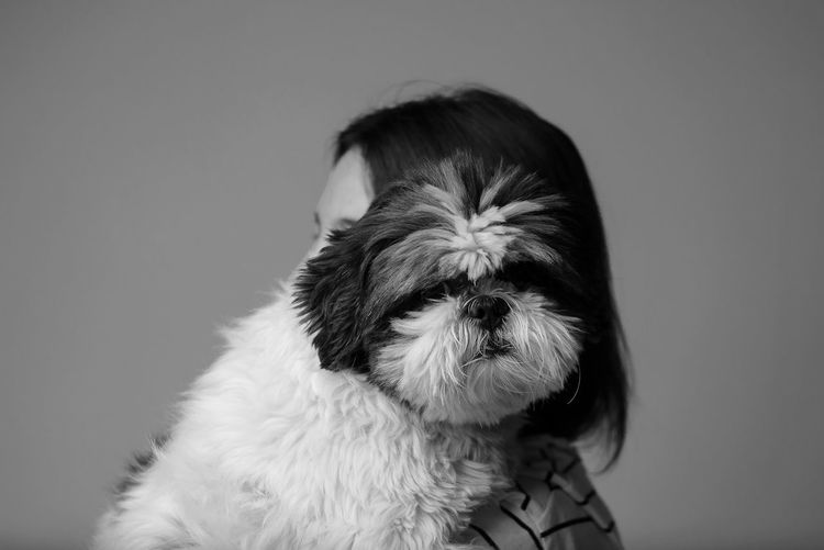 Shih tzu posing for portrait. www.adrianosobralfotografias.com.br Animal Animal Body Part Animal Head  Animal Themes Canine Close-up Dog Domestic Domestic Animals Gray Gray Background Indoors  Lap Dog No People One Animal Pets Portrait Shih Tzu Small Studio Shot The Still Life Photographer - 2018 EyeEm Awards The Creative - 2018 EyeEm Awards The Photojournalist - 2018 EyeEm Awards