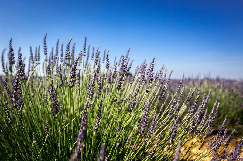 Lavender fields of Valensole, France Agriculture Beauty In Nature Blue Crop  Day Field Flower Flowering Plant Growth Land Landscape Lavender Nature No People Outdoors Plant Purple Rural Scene Scenics - Nature Sky Tranquil Scene Tranquility