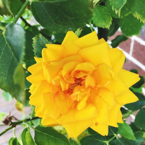 Pretty yellow flower 🌼🌼🌼 YellowFlowers🌾 Flower Flowers Backyard Nature Pretty 💋💜💜💜