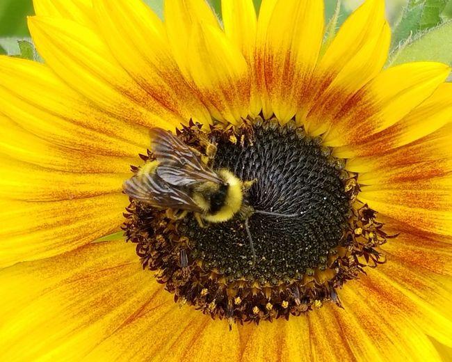 HoneyBee Bee Beeandflower Yellow Flower Macro Nature Beauty In Nature