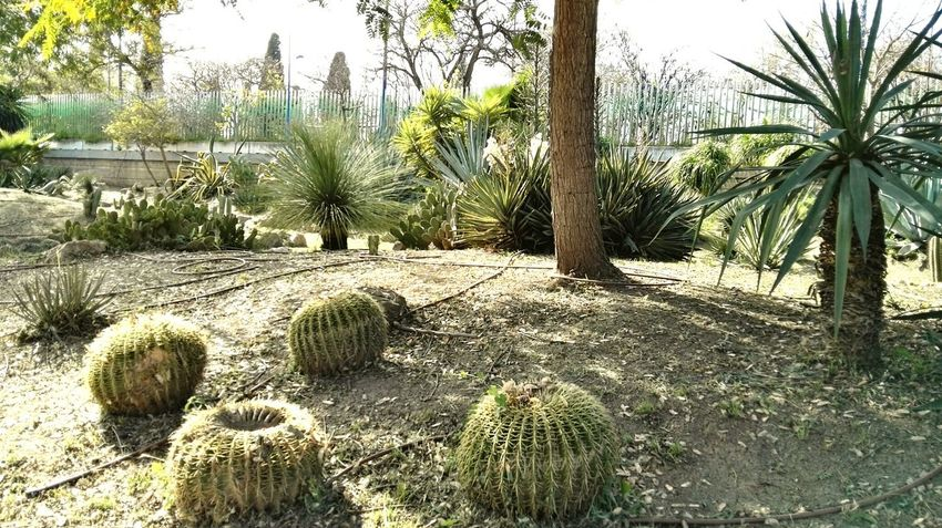 Nature Growth Tranquility Beauty In Nature Sitting Sillon Del Rey Puas Gardens Cactus Cactusclub Cactus Collection Garden Photography Green Green Color Green Green Green!  Green Nature Green Plant