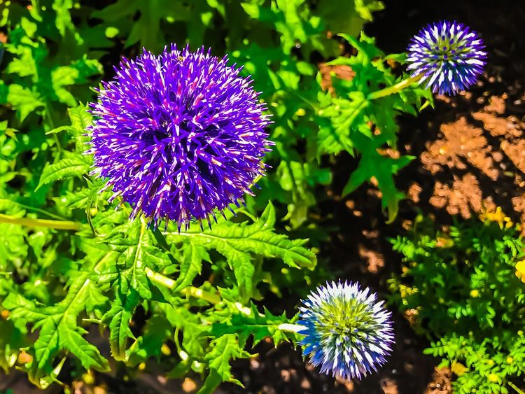 Purple flower with buds on bright green leaves Flower Purple Beauty In Nature Nature Growth Plant Freshness Outdoors Leaf Flower Head Green Color Thistle Blooming Close-up No People Day EyeEmNewHere