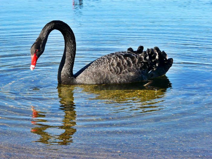 Bird Black Swan Feathers Graceful Lake Looking Into Reflection Mirror Image.!! Just Me.. Red Beak Reflections Ripples In The Water Swan Swimming Water Wildlife
