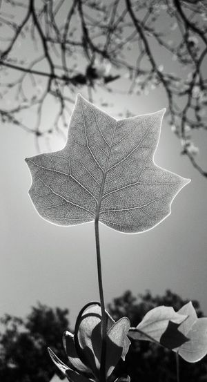 Took this with my phone some time ago... Outdoors Leaf Veins Focus On Foreground Schwarzweiß Growing Plants InTheSky Sunlight Blackandwhite Photography Bright Light Nature Photography Fascinating Light Fascinating Life Black And White Friday