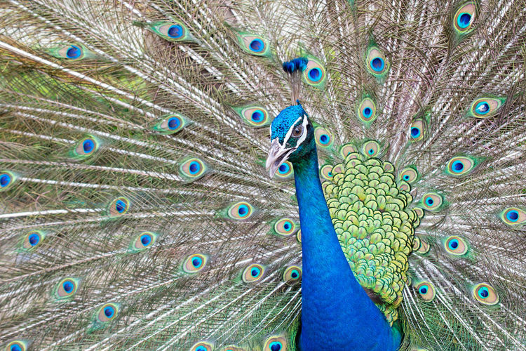 Peacock Bird Animal Themes Peacock Feather Animal Vertebrate Feather  One Animal Animal Wildlife Fanned Out Animals In The Wild Blue Male Animal Beauty In Nature No People Close-up Animal Body Part Multi Colored Day Green Color Animal Head  Outdoors Animal Eye Zoo Poultry