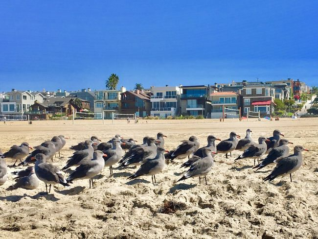 Chilling at the beach Large Group Of Animals Bird Animal Themes Flock Of Birds Clear Sky Outdoors Livestock Day Built Structure Animals In The Wild Nature Blue Building Exterior Architecture Sky No People Mammal Birds Beachphotography Beach Animals In The Wild California Dreamin