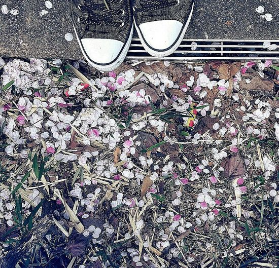 Sakura Petals Mori Gardens Spring 2015 Japan Tokyo Travel Photography