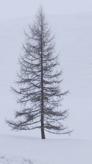 Tree Spruce Tree Snow Cold Temperature Winter Forest Branch Fir Tree Fog Pine Tree