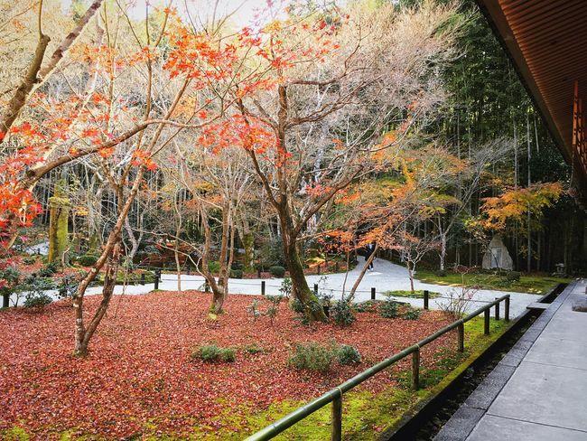圓光寺 京都 Kyoto Autumn Beauty In Nature Travel Destinations Japanese Garden Relaxing Enjoying Life Kyoto, Japan Kyoto Autumn Autumn Colors Japanese Garden Autumn Leaves Autumn