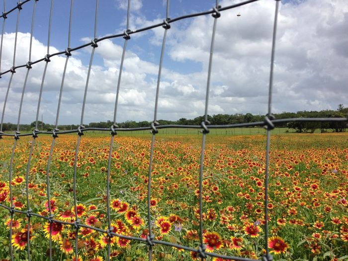 Fenced in Flowers Agriculture Beauty In Nature Close-up Cloud - Sky Day Field Flower Flower Head Fragility Freshness Greenhouse Growth Horticulture Nature No People Outdoors Plant Plant Nursery Rural Scene Sky