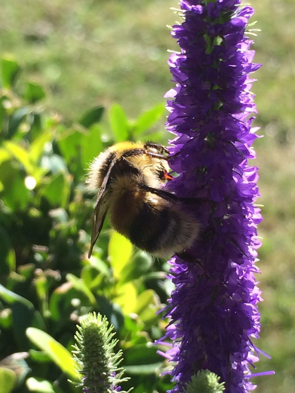 flower, purple, growth, nature, beauty in nature, fragility, animal themes, animals in the wild, bee, one animal, insect, freshness, no people, outdoors, pollination, day, focus on foreground, plant, petal, bumblebee, animal wildlife, blooming, close-up, buzzing, flower head