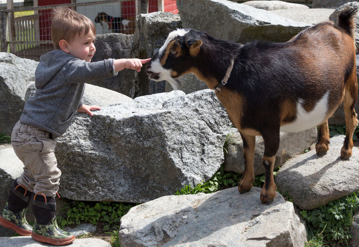 A young boy reaches out to touch a goat's nose at a petting zoo. Brave Farm Goat Innocence Animal Themes Boys Child Childhood Domestic Animals Farm Animal Finger Pointing Nose One Animal One Boy Only Petting Animals Petting Zoo Rocks