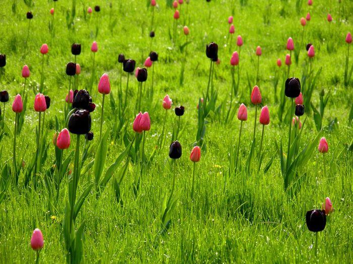 Close-up of poppy flowers in field