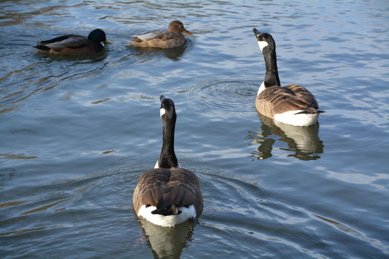 Animal Themes Animals In The Wild Balance Beak Bird Duck Enjoyment Lake No People One Animal Side View Swan Swimming Togetherness Two Animals Vacations Wildlife Zoology