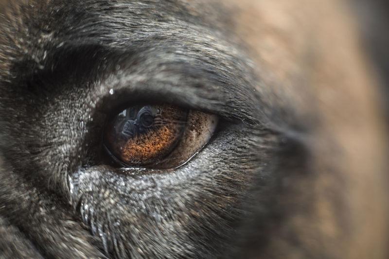 [Cosinon 55mm f/1.2 MC] Animal Animal Body Part Animal Eye Animal Head  Animal Themes Boxer Boxer Dog Brown Eye Close-up Dog Dog Eye Domestic Animals Eye Eye Reflection  One Animal Pet Reflection