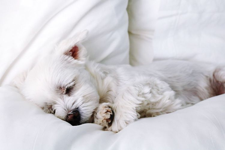 Pets Sleeping Close-up White Color One Animal Relaxation Animal Themes Animal Head  Cute Dog  Marco Knittikus Waldkirch Dog Nemo Maltese Sweet Cute Pets Malteser