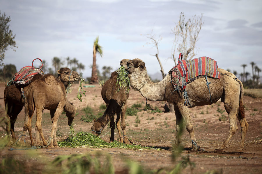 Animal Themes Animal Wildlife Animals In The Wild Beauty In Nature Camels Day Dromedary Grass Hoofed Mammal Landscape Large Group Of Animals Mammal Morocco MoroccoTrip Nature No People Outdoors Safari Animals Togetherness Travel Travel Destinations Travel Photography Zebra