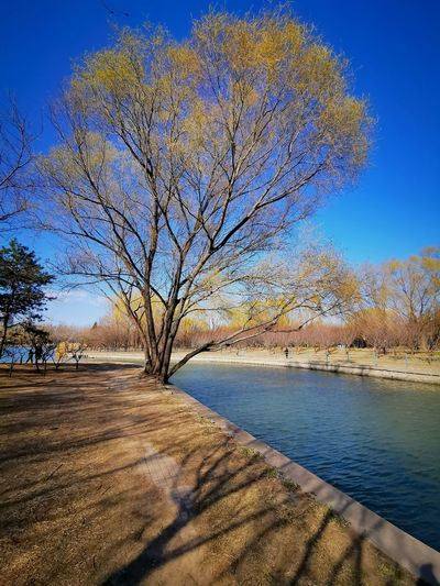 Bare tree by lake against blue sky