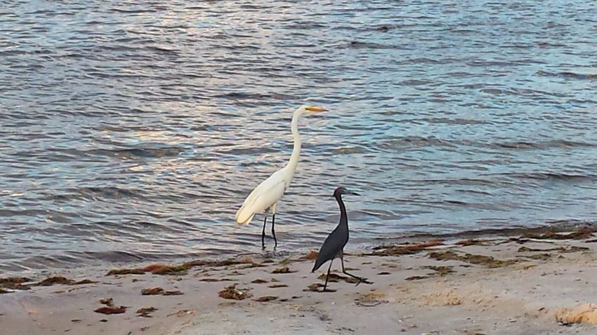 Herons Bird Photography On Our Evening Walk Indian River Lagoon Water By The River Sand And Water Natures Diversities
