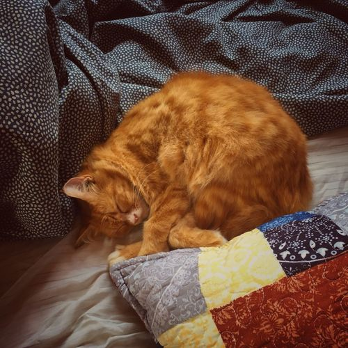 Sleeping cat Domestic Cat Pets Domestic Animals Animal Themes One Animal Indoors  Mammal Feline Ginger Cat Brown Bed Lying Down No People Relaxation Whisker Pillow Day Bedroom