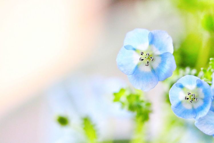 Baby Blue Eyes BabyBlueEyes Cute Flower Nemophila あおいあお ねもふぃ ネモフィラ 青い花