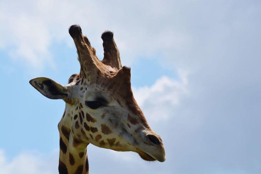 EyeEm Selects Giraffe Low Angle View One Animal Animal Themes Animals In The Wild Mammal Animal Wildlife Sky Day Animal Markings Outdoors Safari Animals No People Nature Close-up