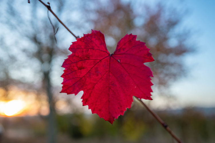 Leaf Plant Part Autumn Beauty In Nature Focus On Foreground Close-up Nature Plant Change Tree Red No People Leaf Vein Day Maple Leaf Outdoors Selective Focus Sky Growth Fragility Natural Condition Wine Trauben Reben