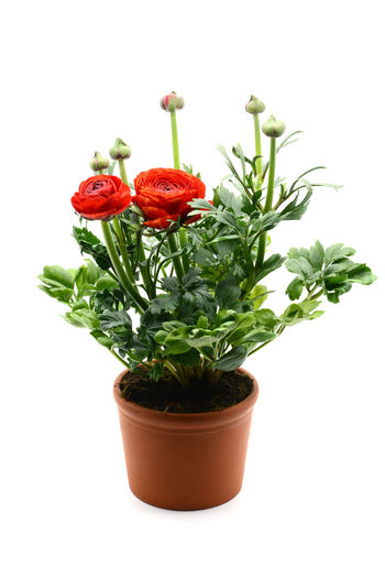 flowerpot of Persian buttercup (Ranunculus asiaticus) on white isolated background Persian Buttercup Ranunculus Asiaticus Ranunkel  Flower Flowerpot Freshness Plant Potted Plant Ranunculaceae Ranunculus Ranunculus Flower Red Studio Shot White Background