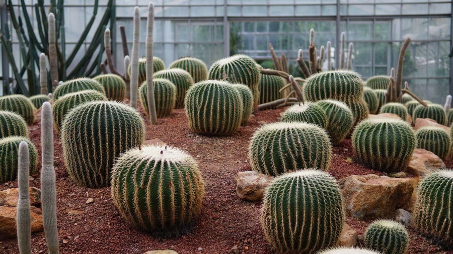 Dry Arid Climate Arid Landscape Green House Greenhouse Plant Nursery Cactus Thorn Barrel Cactus Close-up Plant Green Color Spiked Succulent Plant Spiky Plant Life Growing Sharp