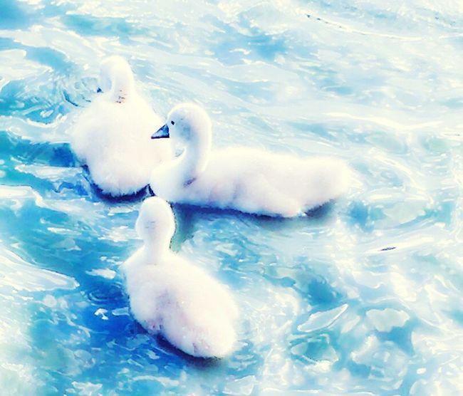 'Cutifuls' Taking Photos Pond Pondlife Swanlings Osloswans❤️ Check This Out Enjoying Life Summertime Birdlife🕊 Urbanexploration CityHiking Urbannature Streetphotography WorldsApalette LifeAtThePond Oslo2016✨ Hiddengems KariJosefiné✨