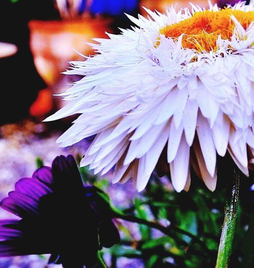 Flowers,Plants & Garden Macro Photography Strawflower Nature Photography Flower Collection Macro_collection