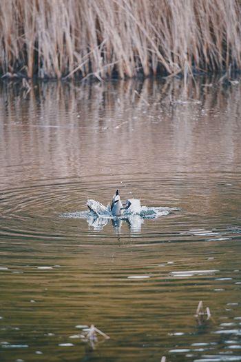 Birds swimming in lake