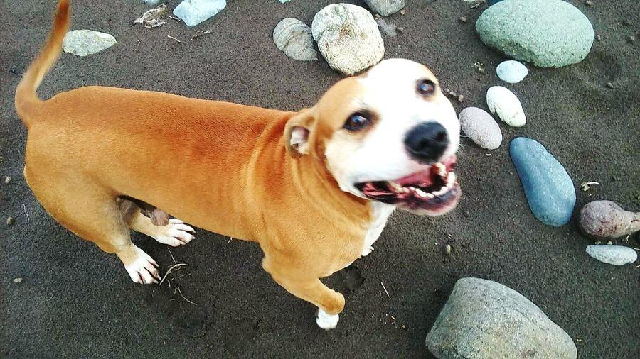 Deuce One Dog Lookng At Camera Fun running nature. Outside pet