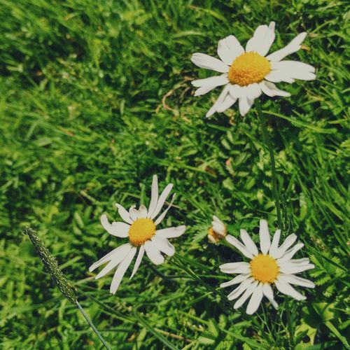 Flower Nature Growth Freshness High Angle View Fragility Flower Head Petal Day Beauty In Nature White Color Pollen Green Color Plant Grass No People Outdoors Animal Themes Field Close-up
