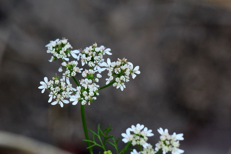 Aromatic Herbs Beauty In Nature Close-up Coriander Flower Flores De Cilantro Flores De Culantro Flower Flower Head Flowering Plant Focus On Foreground Freshness Growth Hierbas Aromáticas Inflorescence Nature Outdoors Petal Plant Selective Focus Spices And Herbs White Color