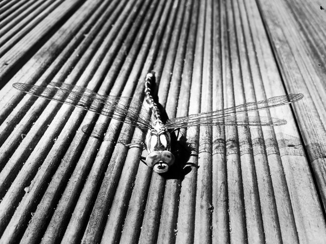 Dragonfly on my porch......... Dragonfly Blackandwhite