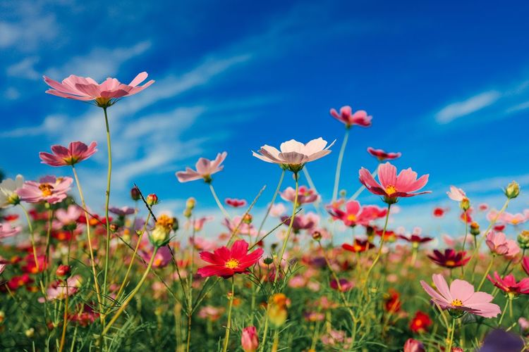 Flower Flowering Plant Plant Beauty In Nature Sky Freshness Growth Flower Head Close-up Field Pink Color Blue Land Fragility No People Day Vulnerability  Nature Petal Inflorescence My Best Travel Photo