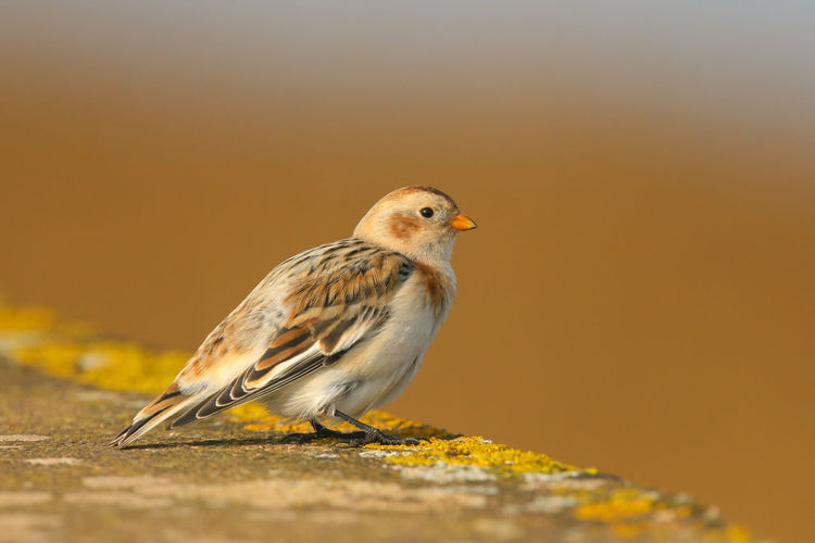 Exeter Bird Birds Bunting Buntings Close-up Nature One Animal Perching Snow Bunting
