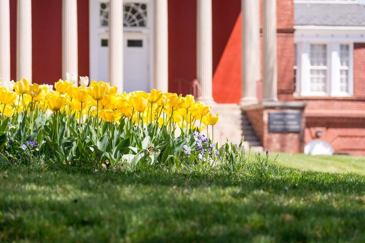 Flowers Tulips Landscape Nature Scenic University Campus University Of Virginia Uva Bokah Focus On Foreground No People Yellow Grass Vanilla Ice Grass Charlottesville Grounds Cavaliers Afternoon Spring Flowers In Bloom Outdoors Brick Exterior Travel Travel Destinations