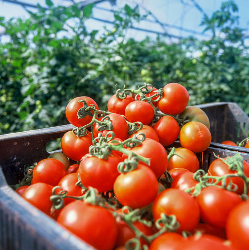 Close-up of tomatoes in container